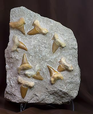 Huge Beautiful Otodus Obliquus Fossil Shark Tooth Matrix Plate Morocco 0001