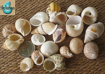 20 Small Sea Shells For Your Small Hermit Crabs