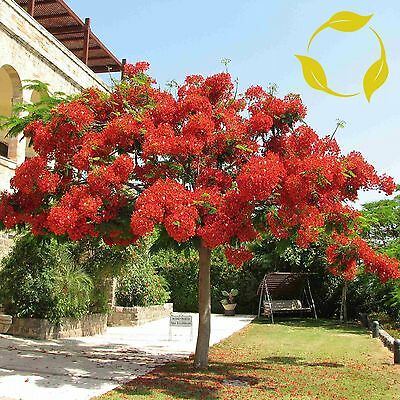 ROYAL POINCIANA Delonix Regia 5,10,20 SEEDS
