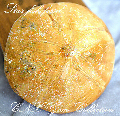 Natural Crystal Star Fish Starfish Fossil Specimen Rare Polished Collectible