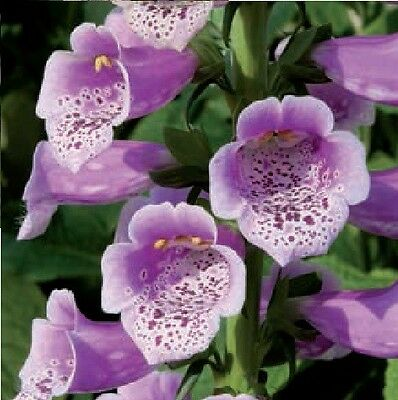 Flower - Foxglove - Digitalis - Dalmatian F1 Rose - 10 Pelleted Seeds