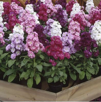 Flower - Stock - Matthiola Incana - Cinderella Mixed - 50 Seeds