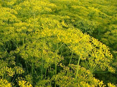 Herb - Dill - Dukat - 1000 seeds - Economy
