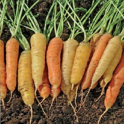Vegetable - Carrot - Rainbow F1 - 1500 Seeds - Large