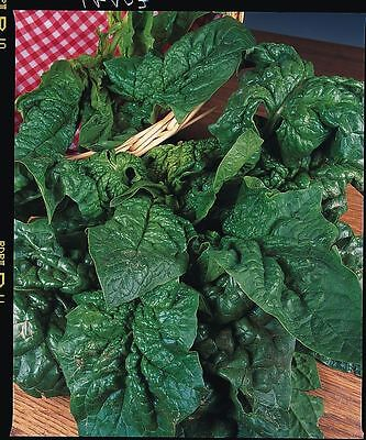 Vegetable - Spinach - Giant Winter - 300 Seeds - Economy Pack