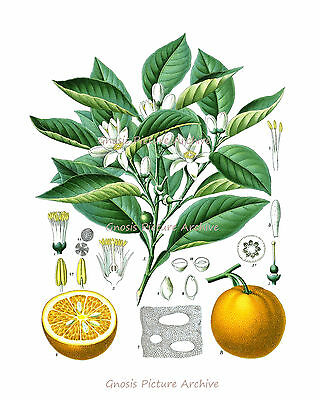 Kitchen Decor Housewarming gift Vintage Botanical Print Citrus Fruit no.1 Orange