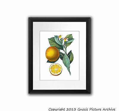 Vintage Botanical Fruit Print no.4 Orange Fruit Tree Wall Hanging Art Home Decor