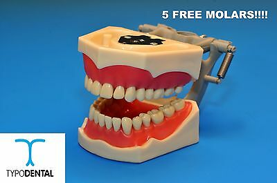 Typodont Dental Model 860 works with Columbia brand teeth (5 free molars)
