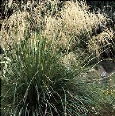 Ornamental Grass - Chionochloa flavescens - 50 Seed - Large Packet