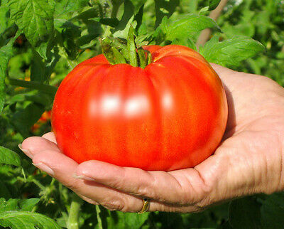Bulk * 200 *  Beefsteak Tomato Seeds * Large * Solid * Great Slicer *