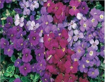 Flower - Aubrieta Deltoidea - Royal Mixed - 250 Seeds