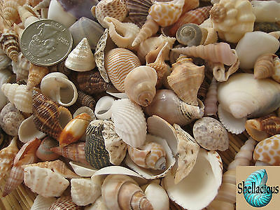 """150+ Small Sea Shells Lot - .5"""" To 1.25""""+/- Large Variety!"""