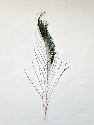 Peacock Sword Eye Feathers 12 inch Very Rare! Crafts, Millinery.