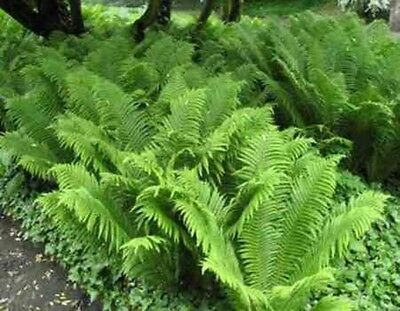"Ostrich Ferns .... 15""-18"" .... 15 Plants"