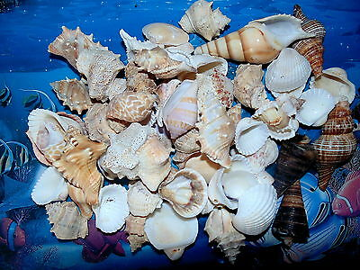 "1 HALF POUND LARGE INDIAN OCEAN SEA SHELL MIX 1"" to 3""  CRAFT NAUTICAL"