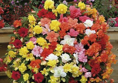 Flower - Begonia Supercascade F1 Mixed - 50 Pelleted Seed - Large Pack