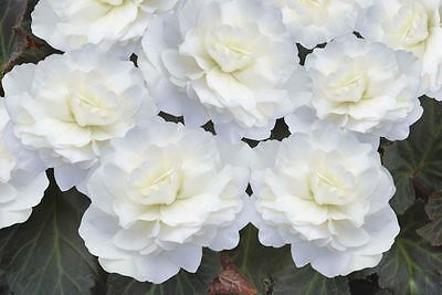 Flower - Begonia - Nonstop Mocca Deep White F1 - 10 Pelleted Seed