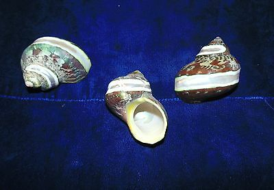 Three (3) Pearl Banded Turbo Petholatus  Sea Shells  Beach Decor Craft Aquarium