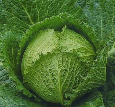 Vegetable - Kings Seeds - Pictorial Packet - Cabbage - Tundra F1