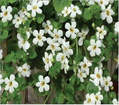 Flower - Bacopa Snowtopia - 20 Pelleted Seed - Large Pack