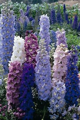 Flower - Delphinium - Pacific Giants Strain - Round Table - 150 Seeds - Large