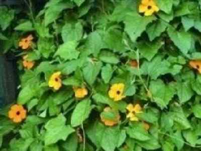 Flower - Thunbergia alata Mixed - Black-Eyed Susan - 100 Seeds - Large Packet