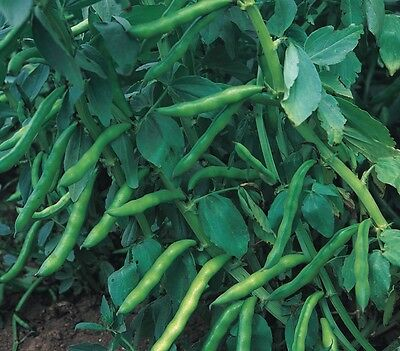 Vegetable - Broad Bean - Aquadulce Claudia - 500 Seeds - Bulk