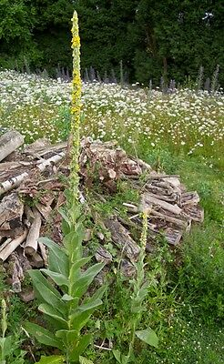Herb - Greater Mullein - Verbascum thapsus - 500 Seed