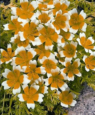 Flower - Limnanthes douglasii - Poached Egg Plant - 250 Seeds