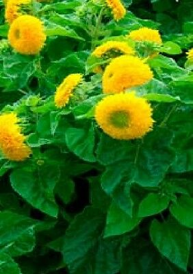 Flower - Sunflower - Dwarf Teddy Bear - 120 Seeds