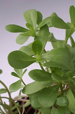Salad - Purslane - Green - 10000 Seeds