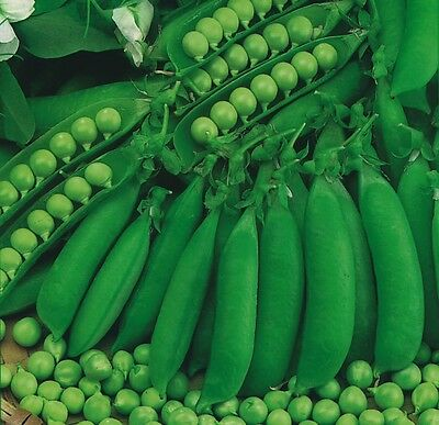 Vegetable - Pea - Petit Pois Waverex  - 500 Seeds
