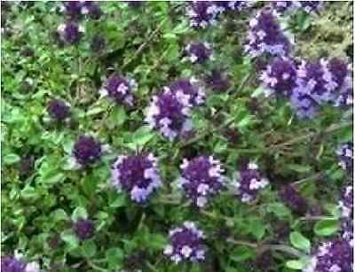 Herb - Thyme - Purple Creeping - 700 Seeds - Economy