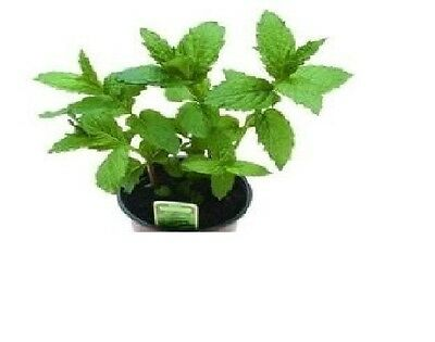 Herb - Peppermint - Mentha Piperita - 100 Seeds - Economy