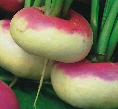 Vegetable - Turnip - Purple Top Milan - 2400 Seeds