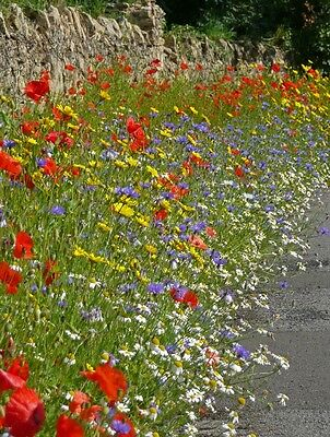 Wild Flower - Cornfield Annual Flower Special Mix - 20g Seed
