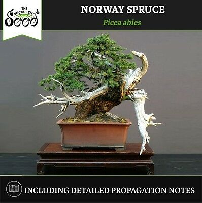 Norway Spruce - Picea abies (50 Bonsai Seeds)