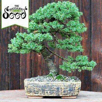 White Spruce - Picea glauca (40 Bonsai Seeds)