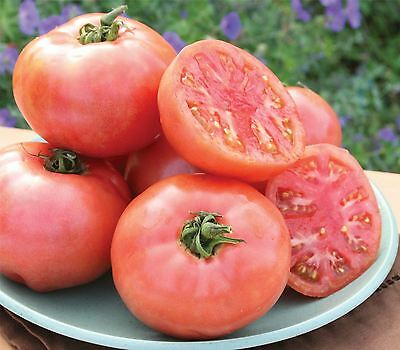 Vegetable - Tomato - Pink Pounder - 50 Seeds - Large
