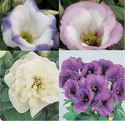 Flower - Lisianthus Sapphire Mixed  - 50 Pelleted Seeds - Large Pack