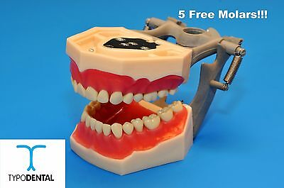 Typodont Dental Model FG3 / AG3 works with Frasaco brand teeth (5 free molars)