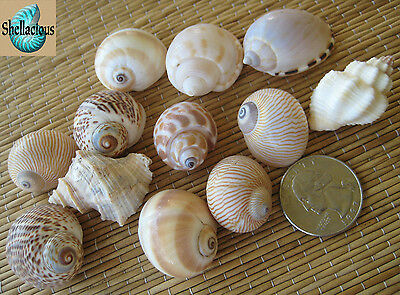 12 Small Medium Sea Shells For Your Growing Hermit Crabs