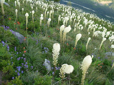+50 Graines Herbe d'Ours Vivace Spectaculaire (Xerophyllum) Bear Grass Seeds