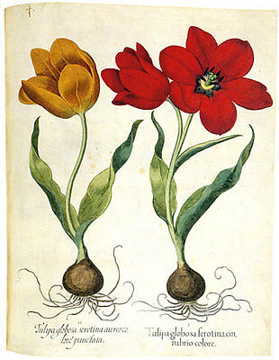 Yellow and Red Tulips 22x30 Hand Numbered Edition Botanical Garden Flower Art