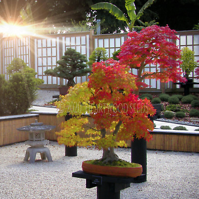 Acer palmatum (Japanese Maple Small Leaf) 20 Fresh seeds - Perfect as a bonsai