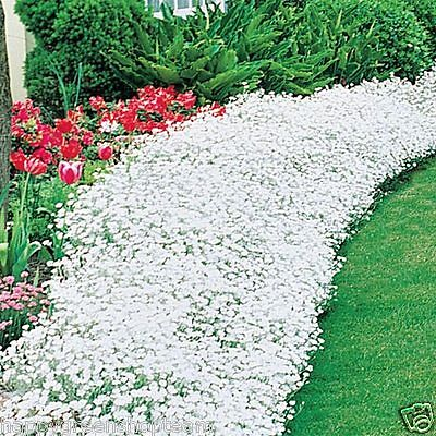 SNOW IN SUMMER 1200 seeds - CHICKWEED - Cerastium Tomentosum - PERENNIAL FLOWER