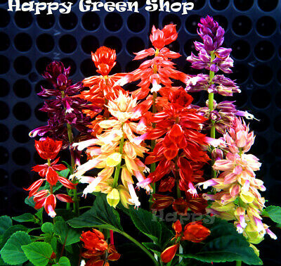 SAGE MIX - SALVIA SPLENDENS - 70 seeds - Annual flower