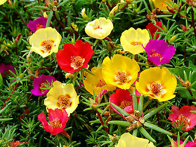 Moss Rose mix - Portulaca Grandiflora - 2000 seeds - Flower alpine