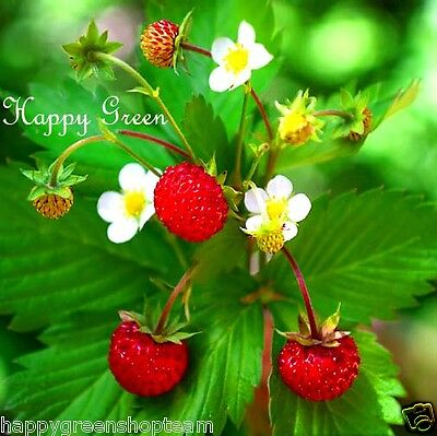 Wild Strawberry -  250 SEEDS - Fragaria Vesca Baron Solemacher - PERENNIALS