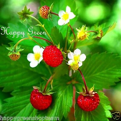 Wild Strawberry -  270 SEEDS - Fragaria Vesca Baron Solemacher - PERENNIALS